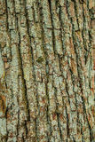 Oak bark crust surface with moss Royalty Free Stock Photo