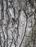 Oak bark macro, tree trunk close-up, Royalty Free Stock Photography