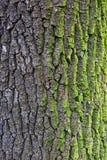 Oak bark with moss Royalty Free Stock Photos