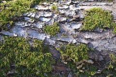 Oak bark and moss Stock Photos