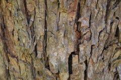 Oak bark Royalty Free Stock Photography
