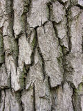 Oak bark surface Stock Photos