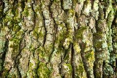 Free Oak Bark Texture Royalty Free Stock Photography - 79816327