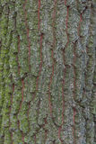 Oak bark texture Royalty Free Stock Image