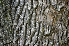 Oak bark texture Stock Photos
