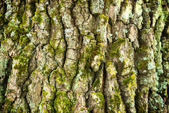 Oak bark texture Royalty Free Stock Photography