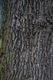 Oak bark texture Royalty Free Stock Photo