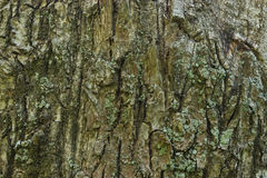 Oak bark texture Stock Images
