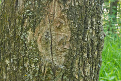 Oak bark texture Stock Photography