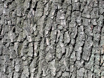 Oak bark tree background close up shot of detail Royalty Free Stock Photography