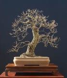 Oak bonsai in winter Royalty Free Stock Image