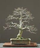 oak bonsai zima Zdjęcie Royalty Free