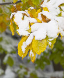 Oak branch. With yellow leaves with snow on top royalty free stock photos