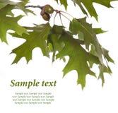 Oak branch Stock Images