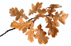 Oak branch Stock Photography