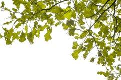 Oak branch stock image