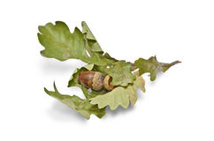 Oak branch with acorn Stock Image