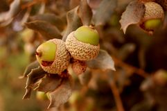 Oak branch with acorns. Oak branch detail with acorns Royalty Free Stock Photography