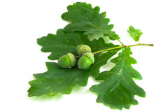 Oak branch with acorns Stock Photo