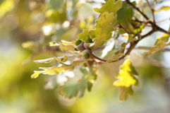 Oak branch with acorns . Royalty Free Stock Photo