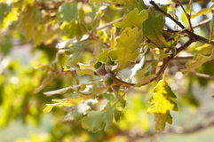 Oak branch with acorns . Royalty Free Stock Images