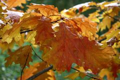 Oak branch with autumn leaves. Stock Image