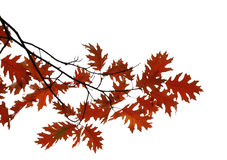 Oak branch with autumn leaves isolated Stock Image