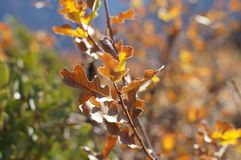 Oak branch with brown leaves. Young oak tree branch in warm sunlight Royalty Free Stock Photos