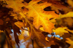 Fall oak leaves Stock Photo