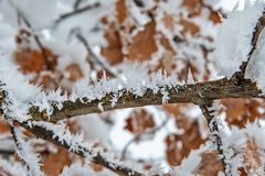 Oak Branch Covered With Snow and Hoar Frost stock images