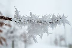 Oak Branch Covered With Snow and Hoar Frost stock photo