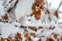 Oak Branch Covered With Snow and Hoar Frost royalty free stock images