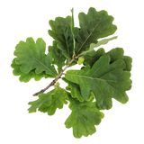 Oak branch with green leaves and acorns, isolate. Stock Photography