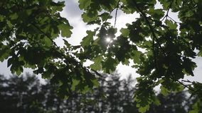 Oak branch with green leaves and sky.  stock video footage