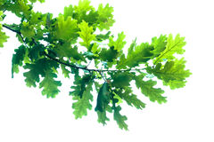 Oak branch Stock Image