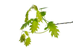 Oak branch Royalty Free Stock Photos