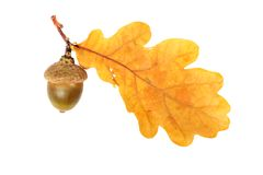 Oak branch Stock Images