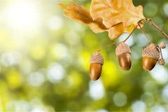 Oak branch. Leaf tree acorn nut seed reproduce Royalty Free Stock Photo