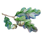 Oak branch with leaves and acorn.  on white background. Royalty Free Stock Photo