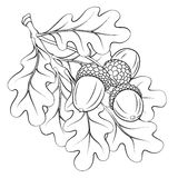Oak branch with leaves and acorns. Black-and-white linear image of oak branch with leaves and acorns royalty free illustration