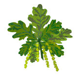 Oak branch with leaves and catkins vector. Illustration vector illustration
