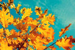 Oak branch with orange leaves stock photography