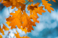 Oak branch with red leaves Royalty Free Stock Photos