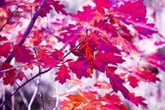 Oak branch with red leaves royalty free stock photography