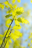 Oak branch in spring Stock Photos