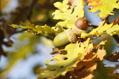 Oak branch with two acorns Stock Images