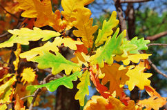 Oak branch with yellow autumn leaves Stock Photo