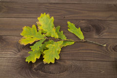 Oak branch with yellow leave, dark wooden background. Oak branch with yellow leaves on a dark wooden background Stock Image