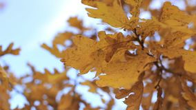 Oak branch with yellow leaves.  stock footage
