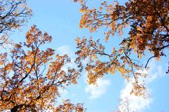 Oak branch with yellow leaves against the sky Stock Photography